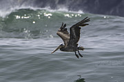 Tim Moore - Kiwanda Brown Pelican