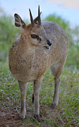 Klipspringer Print by Richard Bryce and Family