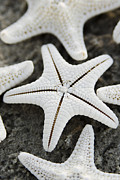 Cynthia Holling-Morris - Knobby starfish bottom