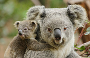 Koala Photo Prints - Koala and Joey Print by Traci Law