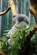 Koala Bear Art - Koala Bear Nap Time by William Woide