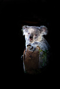 Koala Bear Prints - Koala Bear Print by Robert Bales