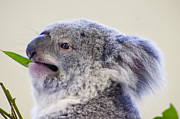 Koala Close Up Print by Chris Flees