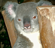 Koala Photo Prints - Koala Print by Ellen Henneke