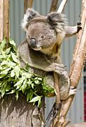 Koala Print by Steven Ralser