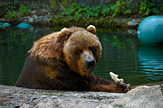 Pittsburgh Zoo Prints - Kodiak Bear Pittsburgh Zoo Print by Amy Cicconi
