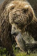 Tim Moore - Kodiak Bear Salmon