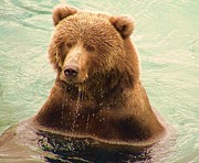 Kodiak Posters - Kodiak Brown Bear Dipping for Fish Poster by Penelope Cyr-Lorenson