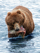 Tim Moore Metal Prints - Kodiak Brown Bear Metal Print by Tim Moore
