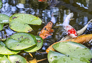 Koi And Lily Pad Print by Jamie Pham