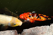 Koi Ponds Photos - Koi Fish 5D24551 by Wingsdomain Art and Photography
