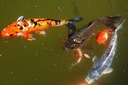 Koi Ponds Photos - Koi Fish 5D24553 by Wingsdomain Art and Photography