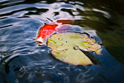 Waterlily Photos - Koi In Autumn by Priya Ghose