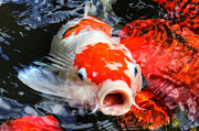 HH Photography - Koi Kisses
