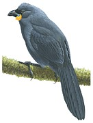 Wildlife Drawings - Kokako by Anonymous