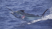 Blue Marlin Photo Metal Prints - Kona Blue Metal Print by Carol Lynne