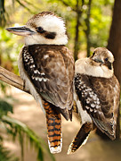 Australian Wildlife Prints - Kookaburra 5 Print by Michael  Nau