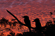 Sheila Smart - Kookaburras at sunset