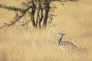 Foraging Framed Prints - Kori Bustard Foraging in Long Grass Framed Print by Paul W Sharpe Aka Wizard of Wonders