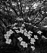 Michael D. Friedman Prints - Kousa Dogwood III Print by Michael Friedman