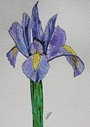 Dutch Drawings Framed Prints - Kristinas Iris Framed Print by Marcia Weller-Wenbert