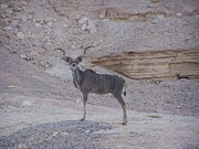 Noreen HaCohen - Kudu King