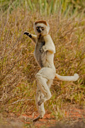 Berenty Posters - Kung Fu Lemur Poster by Ashley Vincent
