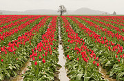 Mark Kiver Prints - Kung Fu Tulip Perspective Print by Mark Kiver