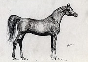 Horse Drawings - Kwestura polish arabian horse drawing by Angel  Tarantella