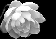 Sabrina L Ryan - L is for Lotus