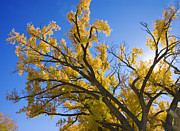 Cottonwood Photos - La Boca Ranch Fall Trees by Jerry McElroy