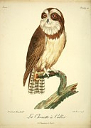 Audubon Drawings Posters - La Chouette a Collier Poster by Philip Ralley