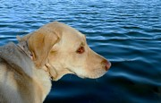 Black Lab Digital Art - Lab and Water by Michelle Frizzell-Thompson