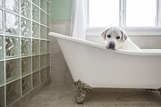 Yellow Lab Framed Prints - Lab in a Bathtub Framed Print by Diane Diederich
