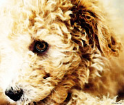 Buy Digital Art - Labradoodle Dog Art - Doodle Bug by Sharon Cummings