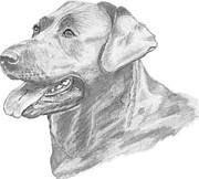 Owner Drawings Posters - Labrador Dog Drawing Poster by Catherine Roberts