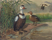 ACE Coinage painting by Michael Rothman - Labrador Duck