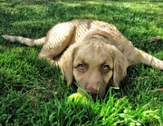 Dogs Photos - Labrador Puppy by Larry Marshall