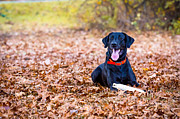 Eleanor Abramson - Labrador Retriever in...