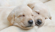 Labrador Retrievers Posters - Labrador Retriever Puppies Sleeping  Poster by Jennie Marie Schell