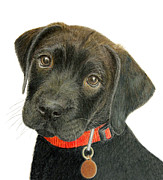 Chocolate Lab Drawings - Labrador Retriever Puppy by Jacqueline Barden