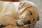 Labrador Retrievers Posters - Labrador Retriever Puppy Nap Time Poster by Jennie Marie Schell