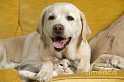 Labrador With Cat Print by Jean-Michel Labat