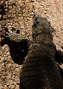 Australian Wildlife Prints - Lace Monitor 3 Print by Michael  Nau