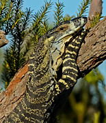 Australian Wildlife Prints - Lace Monitor 4 Print by Michael  Nau