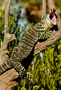 Australian Wildlife Prints - Lace Monitor 5 Print by Michael  Nau