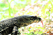 Goanna Photos - Lace Monitor Profile by David Rich