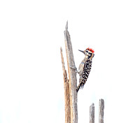 Ruth Jolly Framed Prints - Ladder-Backed Woodpecker Framed Print by Ruth Jolly