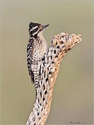 Ladderback Framed Prints - Ladderbacked Woodpecker Framed Print by Daniel Behm