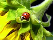 Spots  Digital Art Posters - Lady Beetle Poster by Christina Rollo